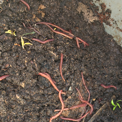 The Worm Castings Make A Wonderful Soil Amendment For Fairy Gardens, Dish  Gardens, Flower Beds, And Even Lawns!